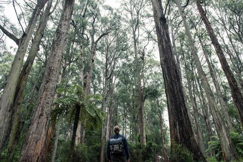 A person wearing a backpack, standing in dense forest in the Dandenong Ranges.